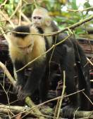 Mother capuchin monkey and baby, Costa Rica — Stock Photo