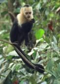 Baby capuchin monkey eating in tree, Costa Rica — Stock Photo