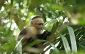 Baby Kapuziner-Affen Essen in Costa Rica-Struktur — Stockfoto