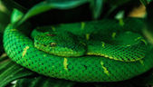 Side-striped pit viper (bothriechis lateralis) — Foto de Stock