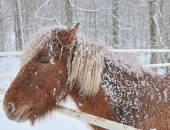 Icelandic Horse (Equus ferus caballus) — Стоковое фото
