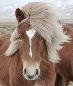 Icelandic Horse (Equus ferus caballus) closeup, staring at camera. — Stock Photo