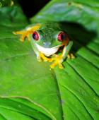 Red Eyed Tree Frog, Costa Rica — Stock Photo