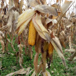 Постер, плакат: Silage corn on the stalk