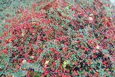 Ilex verticillata - Winterberry — Stok fotoğraf