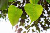 Bodhi tree — Stock Photo