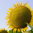 Sunflower field against blue sky — Stock Photo #65470045