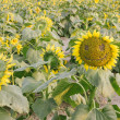 Smiling face of sunflower in the field — Stock Photo #65470465