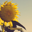Sunflower field against blue sky closeup vintage — Stock Photo #65470983
