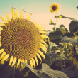 Sunflower field against blue sky vintage retro — Stock Photo #65531897