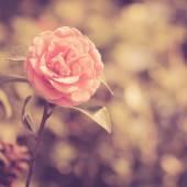 Camellia flower vintage — Stock Photo