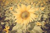向日葵的花老式复古 — 图库照片