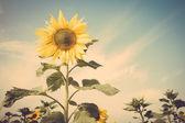Sunflower flower field blue sky vintage retro — Stock Photo