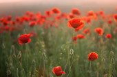 Poppy field. Beautiful meadow of wildflowers in red. — Stock Photo