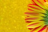 Close up flower gerbera on yellow bokeh background — Stock Photo