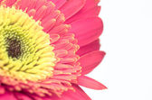 Vintage gerber flower close up design isolated on white backgroud — Stock Photo
