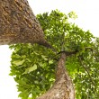 Green isolated tree from a different view — Stock Photo #55475441