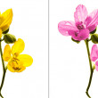 Yellow and Pink isolated flower — Stock Photo #55476157