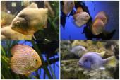 Aquarium fish: Piranha, Discus, Cichlid. — Stock Photo