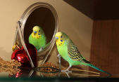 Cute Green Budgie, looking in the Mirror — Stock Photo
