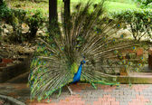 Bright peacock in nature park — Stock Photo