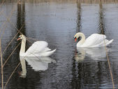 Pair of Swans. Two Swans on Water, Reflected — Stock Photo