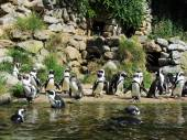 South African Penguins at the Burgers Zoo Netherlands — Stock Photo
