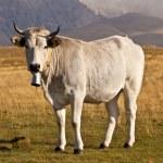 White cow — Stock Photo #54766447