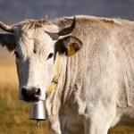White cow — Stock Photo #54766473