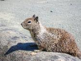American Squirrel — Stock Photo