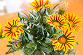 Gazania flower native to South Africa, but found widely in Austr — Stock Photo
