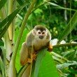 Постер, плакат: Lovely squirrel monkey in Manuel Antonio National Park Costa Rica