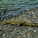 Crocodile closeup in Sirena river estuary in Corcovado National Park, Costa Rica — Stock Photo #52410545