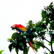 Red macaw in Drake bay, Corcovado National Park, Costa Rica — Stock Photo #52410549