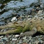 Crocodile closeup in Sirena river estuary in Corcovado National Park, Costa Rica — Stock Photo #52410553