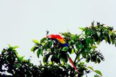 Red macaw in Drake bay, Corcovado National Park, Costa Rica — Stock Photo