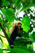 White-faced monkey eating insect in Manuel Antonio National Park, Costa Rica — Stock Photo