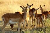 Impala nel delta dell'okavango, moremi crossing, botswana, africa. — Foto Stock