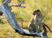 Leopard in Pom-Pom Island, Okavango delta, Botswana, Africa — Stock Photo