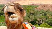 Retrato de um camelo descansar perto de uma floresta de palmeiras em uma aldeia tinerhir perto georges todra, marrocos. — Fotografia Stock