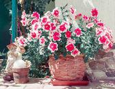 Colorful petunias — Stock Photo