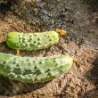 Delicious cucumbers-gherkins on the background of old wooden planks. Rustic eco style — Stock Photo #79745112