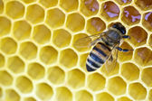 Bee on a wax background — Stock Photo