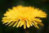 Flor amarela-leão — Fotografia Stock