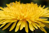 Yellow dandelion flower — Stock Photo