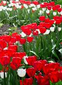 Red and white tulips in s shape — Stock Photo