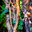 Wood tree with thick ivy — Stock Photo #53337229
