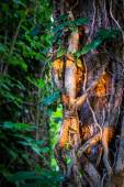 Ivy on wood trunk at sunset — Stock Photo