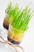 Organické nebo bio pšenice tráva — Stock fotografie