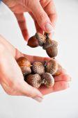 Acorns in woman hands — Stock Photo